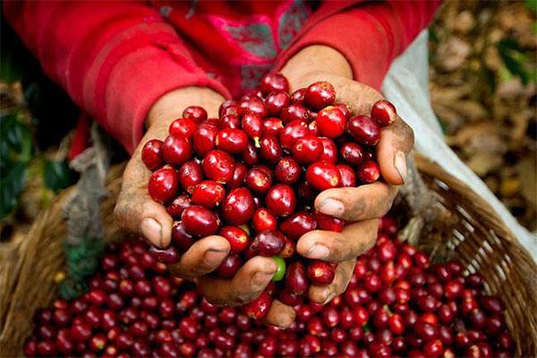 Cây cà phê tươi tại Việt Nam
