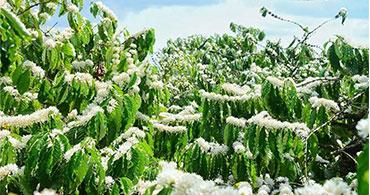 Mùa hoa cà phê trên vùng đất Tây Nguyên