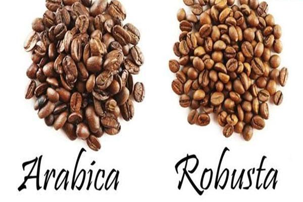 Phân biệt cà phê nguyên chất Arabica và Robusta